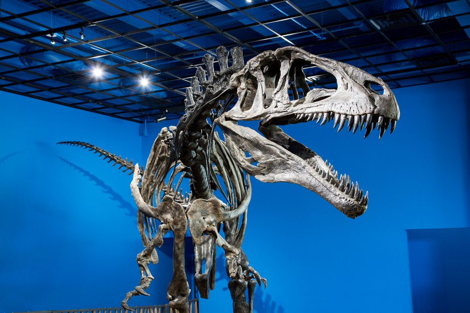 Find this Acrocanthosaurus atokensis replica skeleton at the Museum of the Red River in Idabel. Photo by Lori Duckworth