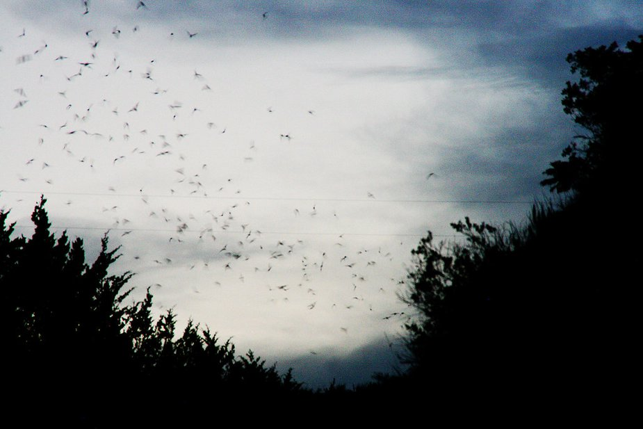 Mexican free-tailed bats like these are Oklahoma's official flying mammal. Photo by Nathan Gunter