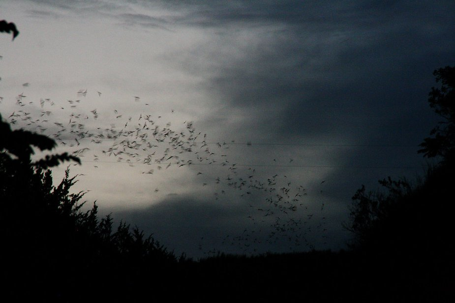Though the soft rush of wings overhead sounds a little like a river, the bats never come close enough to touch, much less bother, visitors to the Selman Bat Watch. They're too busy looking for bugs to eat. Photo by Nathan Gunter