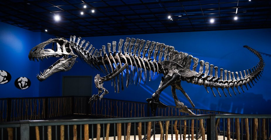 The first specimens of Acrocanthosaurus atokensis—like the one replicated at Idabel's Museum of the Red River—were found near Atoka, leading University of Oklahoma paleontologists to give it the species name atokensis. Like Tyrannosaurus rex, it was a theropod: a large, two-legged predatory dinosaur—among the largest ever discovered, in fact. Photo by Lori Duckworth