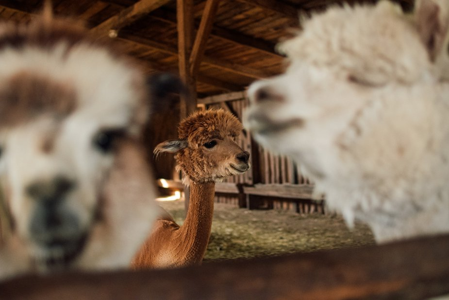 National Alpaca Farm Days comes to Newcastle for those who want to get up close and personal with a furry friend. Photo by Kasjan Farbisz