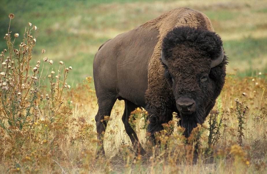 Yes, this is a buffalo. No, that is not the answer to the question.