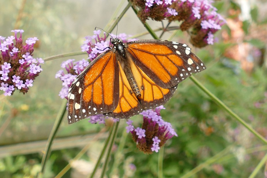 Frederick's Hackberry Flat Wildlife Management Area hosts the Monarch Butterfly Watch as these majestic creatures begin their southern migration.