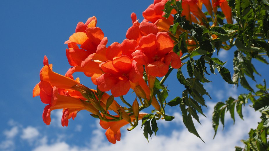 Trumpet vine. Photo by Hans Braxmeier