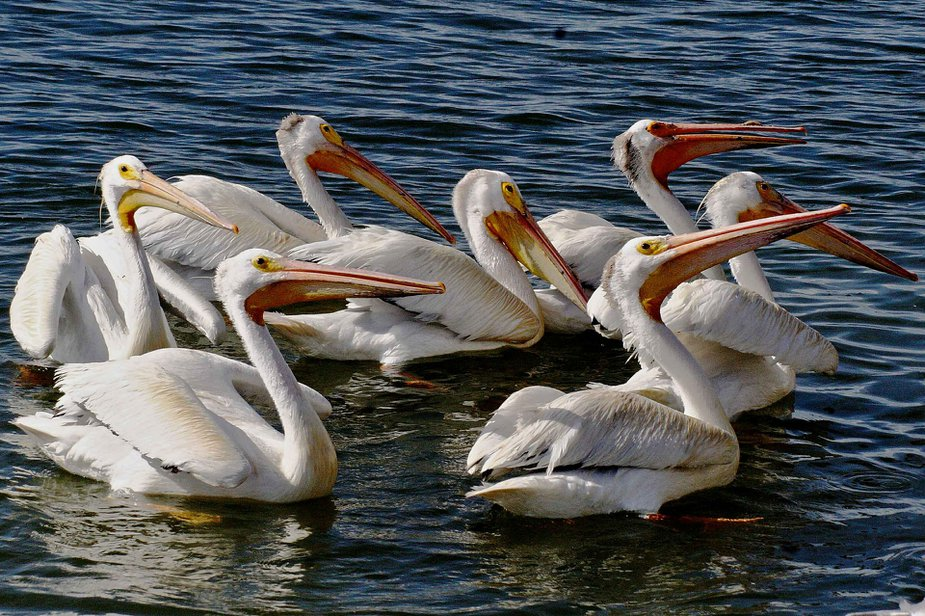 Set eyes on a pod of White American Pelicans at Grand Lake's Pelican Festival.